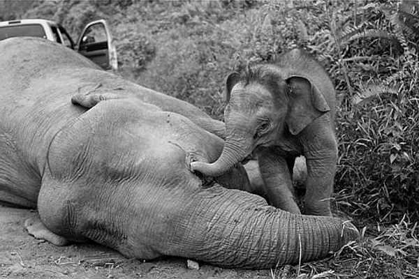 Poisoned Sabah Pygmy Elephants